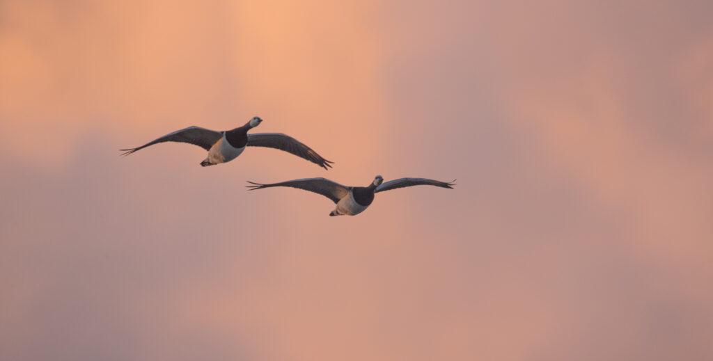 fugle i glid
